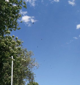Turkey Vultures over Lake Erie